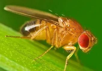 #青岛海关查获超7000只黑腹果蝇#体积不大,会带来外来有害生物入侵风险-米时光